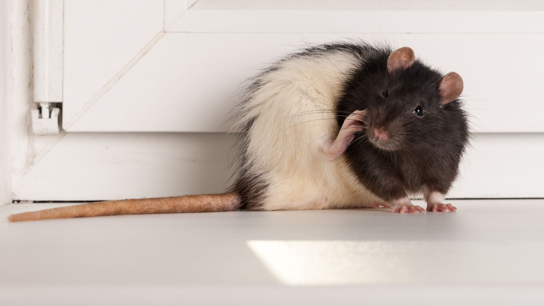 How pest control gets rid of rats?